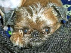 brussels griffon dog | Brussels Griffons - Dogs - Max ( not our Max at Gullringstorp)