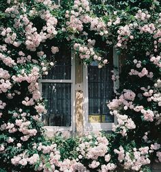 Gorgeous climbing pink roses all around the window. The scent, when the window is open, must be intoxicating.