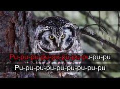 Lintukaraoke: Helmipöllö (video 0:57). Sivustolla paljon samankaltaisia videoita.