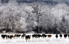 Wisconsin Dairy Cows in Winter ♡