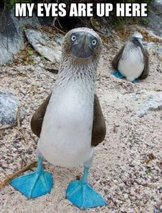 The Sweet Blue Footed Booby Says My Eyes Are Up Here