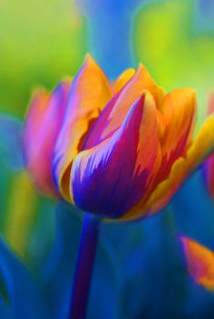 ~~The Colours Of Spring…. Tulip by Sharon House~~