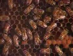 Honey bee waggle dance and more....from Explore Your World videos.