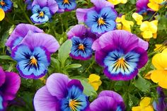 These pansies are so vibrant and unusual that I'm not even sure they're natural and not photoshopped. Flowers Nature, Exotic Flowers, Colorful Flowers, Beautiful Flowers, Blossom Flower, My Flower, Flower Power, Garden Trees, Trees To Plant