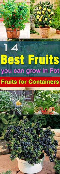 Not only the vegetables but fruits can be grown in pots too. Here are 14 best fruits to grow in containers.
