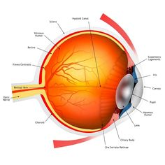Analizatorul vizual - Analizatorii (organele de simț) Vitreous Humour, Eye Anatomy, Eye Illustration, The Retina, Vision Eye, Framed Prints, Canvas Prints, Human Eye, Blood Vessels