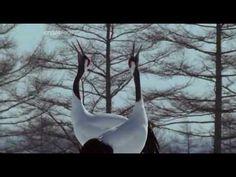 Video BBC-Hokkaido.Garden of the Gods. part 1 (12:12) Ainu people and Japanese Cranes
