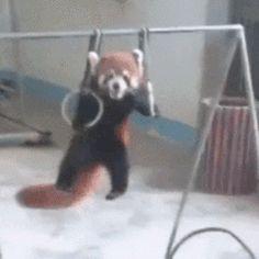 【GIF】レッサーパンダ「人間やんけ!襲ったろ!」→結果wwwwwwwwwwwwwwww