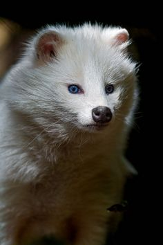 White raccoon dog in the shadow by Tambako the Jaguar, via Flickr