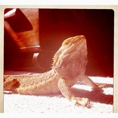 This is my handsome bearded dragon Trogdor! He's 9.5 years old and I love him to pieces. I rescued him when he was 4 months old and have had him ever since. He makes me so happy <3