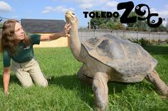 Emerson, our newly arrived Galapagos tortoise, shows lead keeper Val Hornyak just where he likes neck rubs.