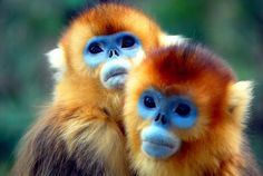 Golden monkey ~ who knew there was an animal with a blue face?