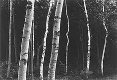 Paul Caponigro :: Birches, Camden, Maine