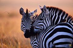 I used to be obsessed with zebras