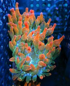 Orange and Lime Rainbow Bubble Tip Anemone Live Coral WYSIWYG