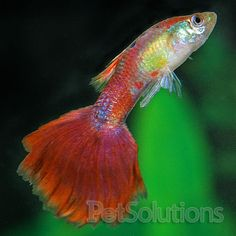 Male Redtail Black Guppy, Guppies | PetSolutions