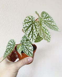 begonia snowcap - All For Herbs And Plants Potted Plants, Garden Plants, Indoor Plants, Plants Are Friends, New Growth, Green Life, Indoor Garden, Houseplants, Flower Power