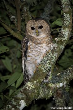 Coruja-listrada l Strix hylophila l Rusty-barred Owl by Vinicius Pontello on 500px