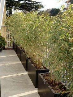 a bamboo hedge - Garden Bamboo Hedge, Bamboo Planter, Bamboo Garden, Garden Planters, Balcony Gardening, Container Gardening, Back Gardens, Small Gardens, Modern Gardens