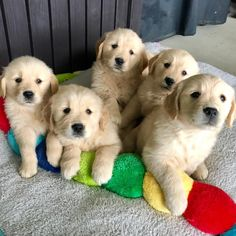 """Acquire great pointers on """"golden retriever puppy"""". They are actually available for you on our web site. Golden Retrievers, Dogs Golden Retriever, Retriever Puppy, English Cocker Spaniel, Cute Puppies, Dogs And Puppies, Doggies, Baby Animals, Cute Animals"""