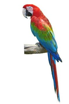 Find Beautiful Red Green Macaw Isolated On stock images in HD and millions of other royalty-free stock photos, illustrations and vectors in the Shutterstock collection. Thousands of new, high-quality pictures added every day. Eagle Background, Best Background Images, Cactus Cartoon, Orchids Painting, Scenery Wallpaper, Big Bird, Acrylic Art, Red Green, Photo Editing