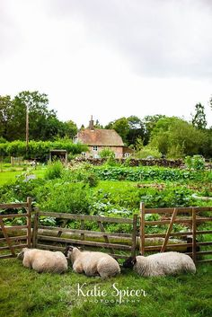 pinterest kitchen gardens   Kitchen garden with sheep