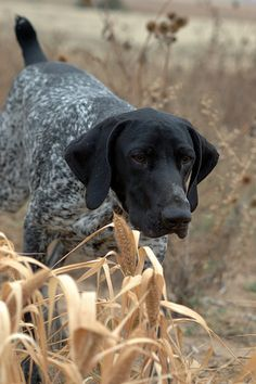 Gun Dogs - Set 2 - 3. Gsp. ❤   ...........click here to find out more     http://googydog.com