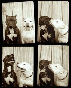 I LOVE this. Seriously wondering if our boys would be good enough to sit for a photo shoot like this one! Also, these dogs are adorable. I just love the way pits smile!