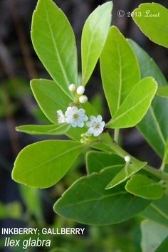 INKBERRY; GALLBERRY (Ilex glabra)   What Florida Native Plant Is Blooming Today?™