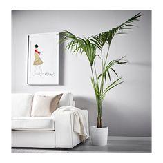 HOWEA FORSTERIANA Plante  - IKEA