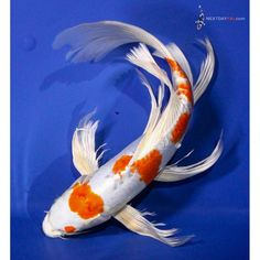White butterfly koi wanted name will be obake for Dragon koi for sale