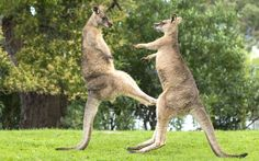 Fighting eastern grey kangaroos embroiled in a dance-like fight. David Parer and Liz Parer-Cook took the picture during a trip to the Meander Valley in Tasmania, Australia.