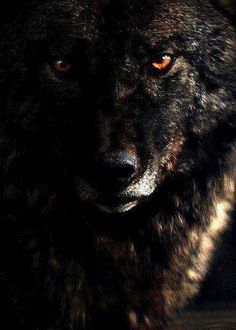 🐺If you Love Wolves, You Must Check The Link In Our Bio 🔥 Exclusive Wolf Related Products on Sale for a Limited Time Only! Tag a Wolf Lover! 📷: Please DM . No copyright infringement intended. All credit to the creators. Wolf Images, Wolf Photos, Wolf Pictures, Wolf Spirit, Spirit Animal, Beautiful Wolves, Animals Beautiful, Alpha Wolf, Wolf Wallpaper