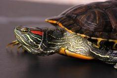 Cuidados de la tortuga de agua
