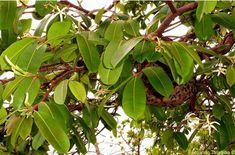 Mangaba -Vespeiro em ramos de mangabeira.