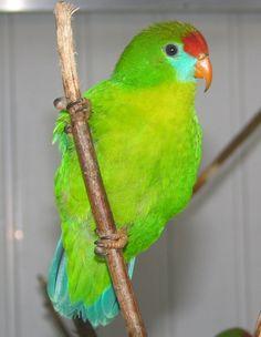 phillipine hanging parrot female, loriculus p. phillipensis photo from Iggino Van Bael