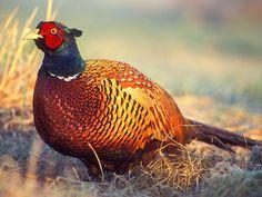 Ring-Necked Pheasant or Common Pheasant. Quail Hunting, Deer Hunting Tips, Pheasant Hunting, Archery Hunting, Turkey Hunting, Coyote Hunting, Hunting Stuff, Common Pheasant, Fitness Abs