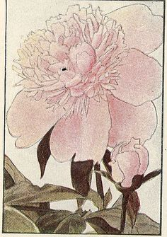 Light pink peony, from Garden Flowers of Spring ~ 1917.