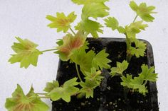 Od srpna lze muškáty množit řízkováním. Zakoření a přezimují   Zahrádkář Herbs, Plants, Herb, Plant, Planets, Medicinal Plants