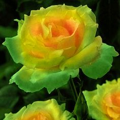 Egrow 100 Pcs in each pack, Rare Rose Seeds with different color, home and garden DIY Flower Bonsai, it's the perennial Plants Amazing Flowers, Beautiful Roses, My Flower, Beautiful Flowers, Daffodil Flower, Pretty Roses, Bonsai Plante, Rosa Rose, Hybrid Tea Roses