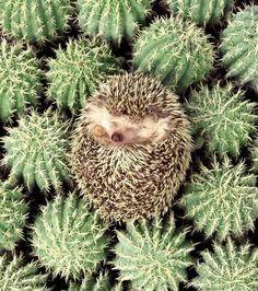 Photo : Plus mignon que camouflé, ce hérisson peut néanmoins se défendre avec les épines des cactus dans lesquels il s'est mis en boule