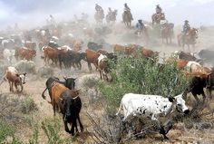 Experience the sound of cow bells, the clatter of the horses, the rediscovery of an ancient world where pace is dictated by nature. Sound Of Cow, Cattle Drive, Bull Riding, Old West, Rodeo, Around The Worlds, Horses, Reno Nevada, Nature