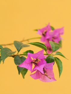 bougainvilla,#mygoaproperty #goa #property for more info email on allproperty@devant.no