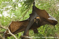 Mating-pair-of-spectacled-flying-foxes.jpg (650×431)