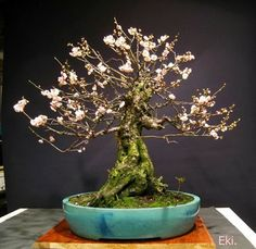 Cherry blossom Bonsai tree, these blossom around March. Stunning isn't it?   By: Ekibonsai