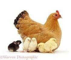 Buff bantam hen with chicks