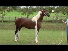 História Cavalo Mangalarga Marchador - YouTube