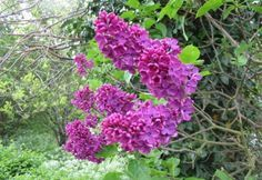 How to grow Lilac Syringa tree with pictures Lilac Bushes, Flower Pots, Flower Garden, Flowers, Syringa, Lilac Tree, All About Plants, Plants, Lilac