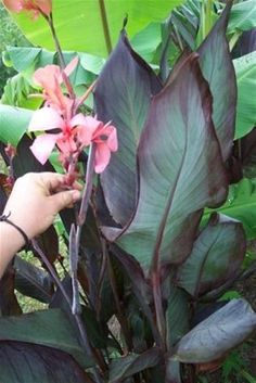 """Canna Lily """"Blueberry Sparkler"""" MEDIUM PINK BLOOMS, 5-6FT TALL, BLOOMS ALL SUMMER.PURPLE LEAVES W/ GREY UNDERSIDE."""