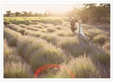Highland Springs Resort - killer lavender fields